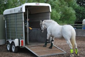 Grey horse being loaded into a trailer with a Dually Halter