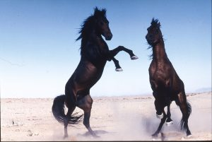 Wild horses rearing in Namibia